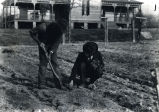 1905: Planting strawberries 2