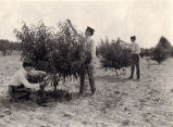 1905: Cadets pruning peach trees