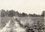 1915: Dusting cotton