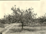Apple tree in Fugazzi orchard, De Kalb County