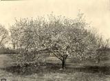 Apple tree in API orchard, Lee County