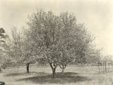Mrs. Leland Cooper's apple tree, Auburn, Alabama