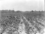 Cotton demonstration plot on Potter farm, Dallas County