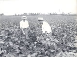 Cotton field in Slocomb, Alabama