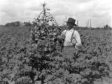 A. Z. Tatum in cotton field, Lee County