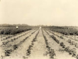 Davis and Boyd in a Lee County cotton field