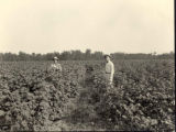Lewis family cotton patches, Marengo County