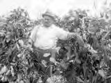 Farmer in field of velvet beans and corn in Hale County, Alabama