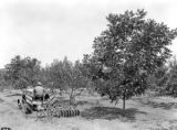 W. M. Newton harrowing his peach and pecan orchard in Evergreen, Conecuh County, Alabama