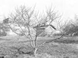 Peach tree in an experimental orchard in Lee County, Alabama
