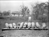 County agent L. M. Hollingworth and a feeding Poland China-Chester White crossbred litter