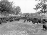 Hog herd owed by the Duroc Breeders Farm Corporation in Autauga County, Alabama
