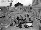 Example of a poorly bred and kept flock of poultry in Limestone County, Alabama