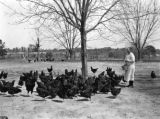 Mrs. W. A. Battey feeds her Rhode Island hens in Bullock County, Alabama