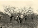 API student activities: pruning peach trees, 1926