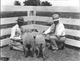 Lambs from scrub ewes, one purebred sire, the other grade in Marengo County, Alabama
