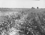 Cotton growing on terraces on F. A. Weather's farm in Lamar County, Alabama