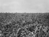 Field of peas and soybeans at the State Normal School farm in Troy, Pike County, Alabama