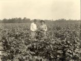 Killing caterpillars on cotton plants, 1925