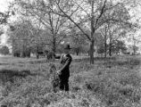 W. F. Lamb, superintendent of the State Normal School Farm holds vetch while in a pecan grove