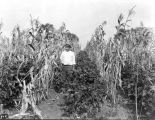 Corn and soybeans on Charles Potter's farm, 1925