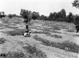 J. A. Weems' watermelon patch in Bullock County, Alabama