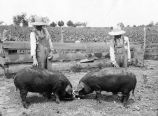 Poland China hogs, 1925