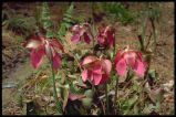 Sidesaddle Pitcher-plant