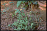 Jack-in-the-Pulpit, Indian Turnip