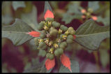 Painted-leaf, Wild Poinsettia