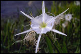 Spider-lily, Shoals Lily, Cahaba Lily