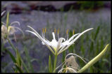 Spider-lily, Shoals Lily
