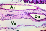 Arteriole and Venule (MS 44 - Sublingual, Salivary Gland, H&E)
